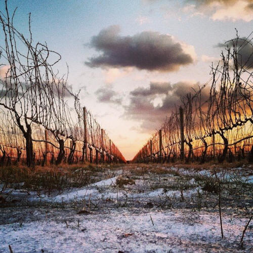 Frozen Vineyard
